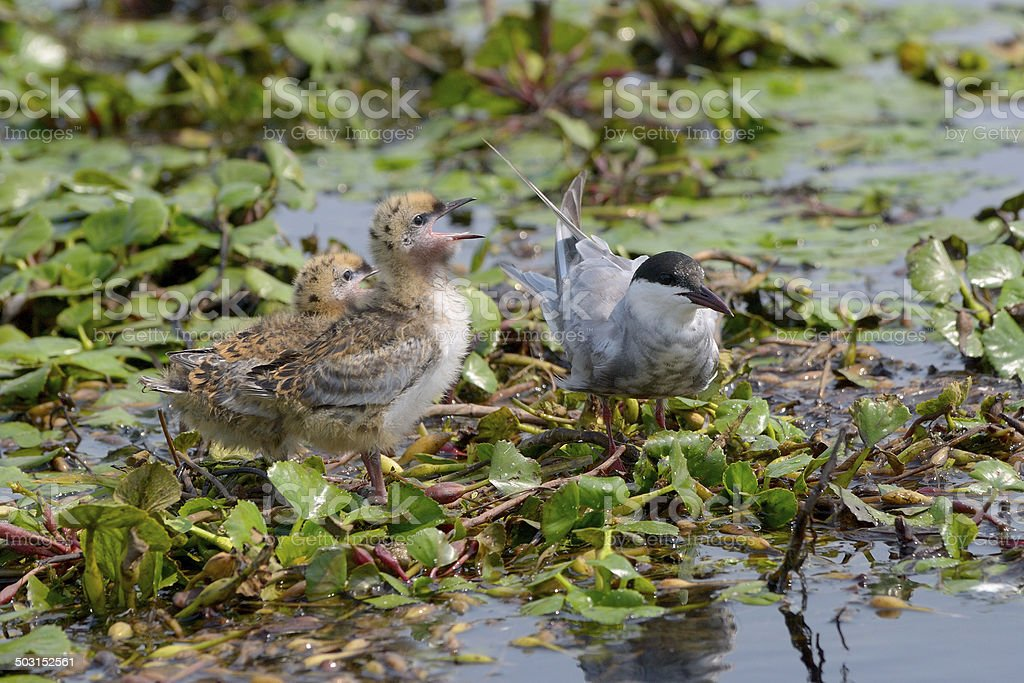 The Whiskered Tern. Birds with chicks stock photo