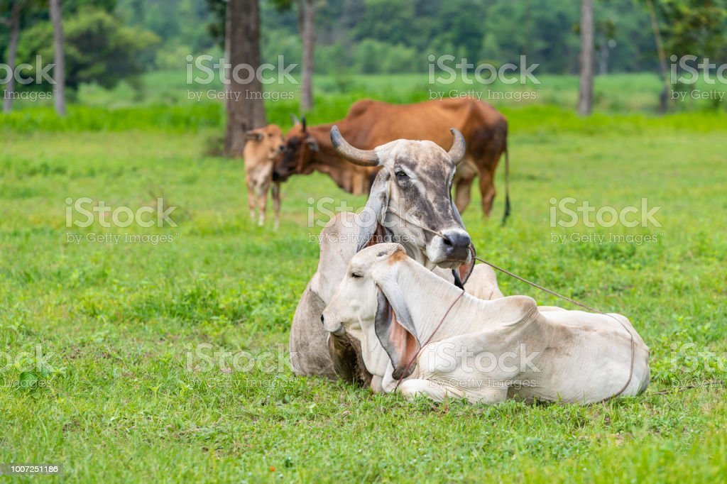 The white and brown Brahman cows with their calfs in the field. stock photo