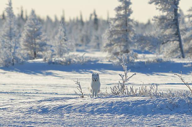 o branco ártico - raposa ártica imagens e fotografias de stock