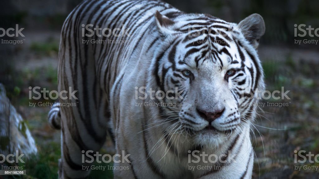 The White Bengal tiger (Panthera tigris bengalensis), or bleached tiger, in the zoo royalty-free stock photo