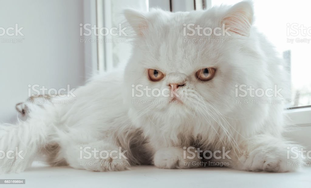 The white cat sits at a window and look directly at the viewer stock photo