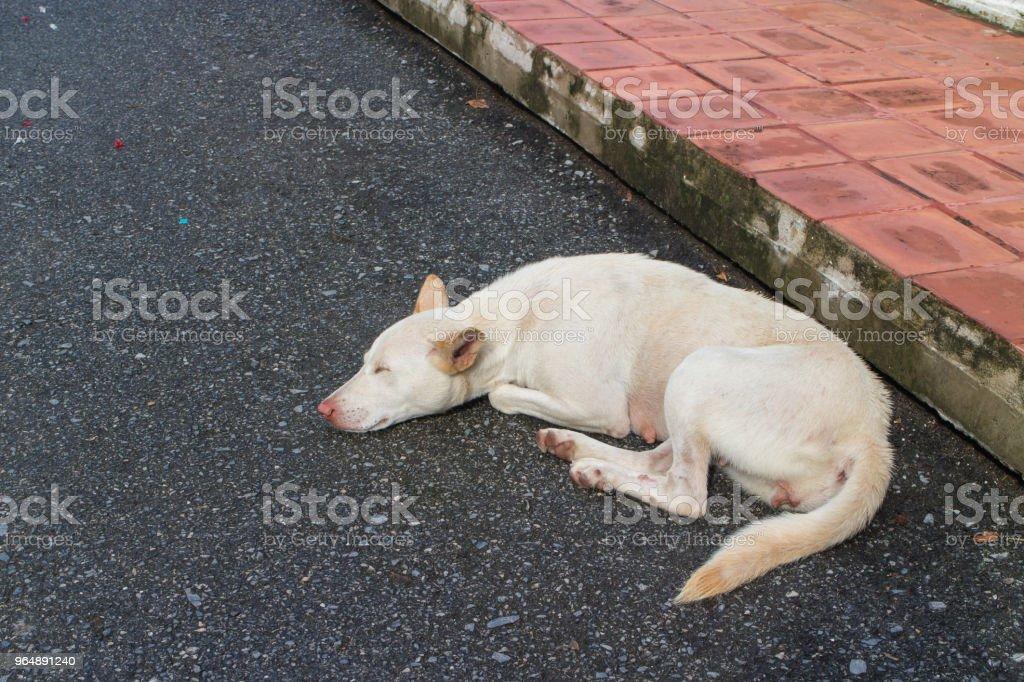 the white dog sleep alone  on the street royalty-free stock photo