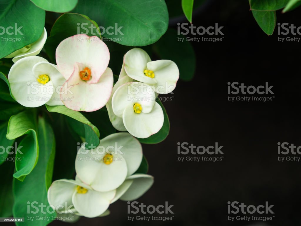 The White Euphorbia milii Flowers Blooming stock photo