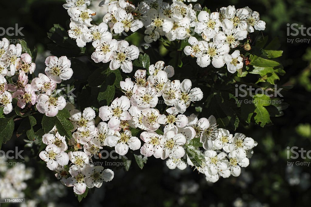 May blossom on hawthorn tree Crataegus monoguna royalty-free stock photo