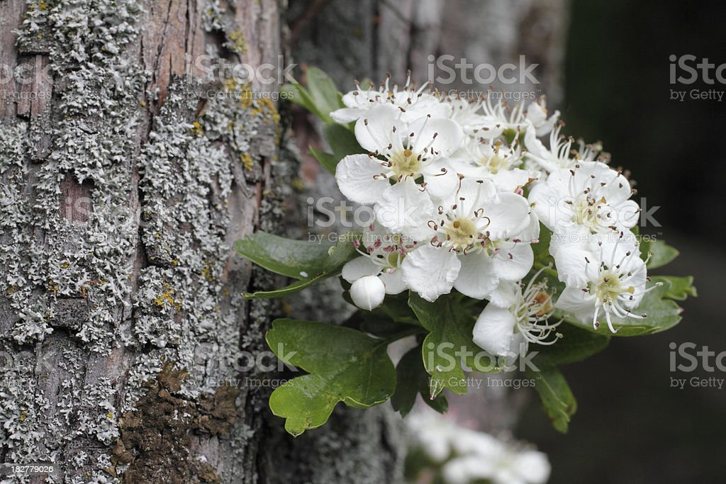 May blossom on hawthorn trunk Crataegus monoguna stock photo