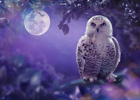 The white owl in the night