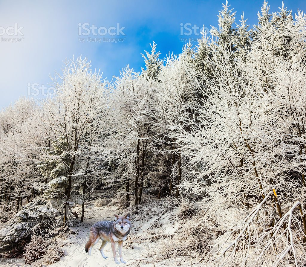 The white polar wolf came for hunting stock photo