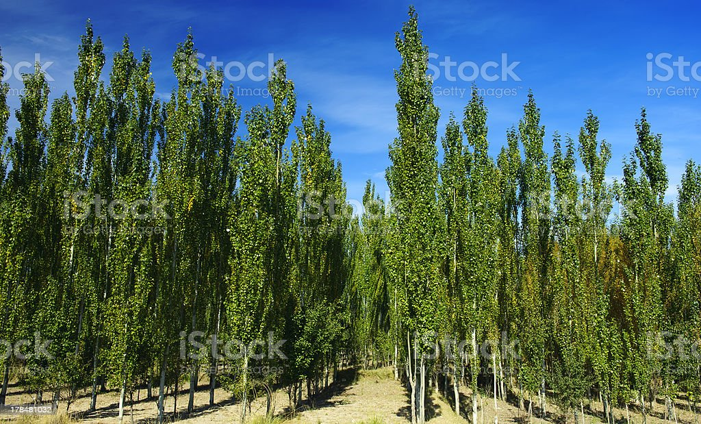 The white poplar woods royalty-free stock photo