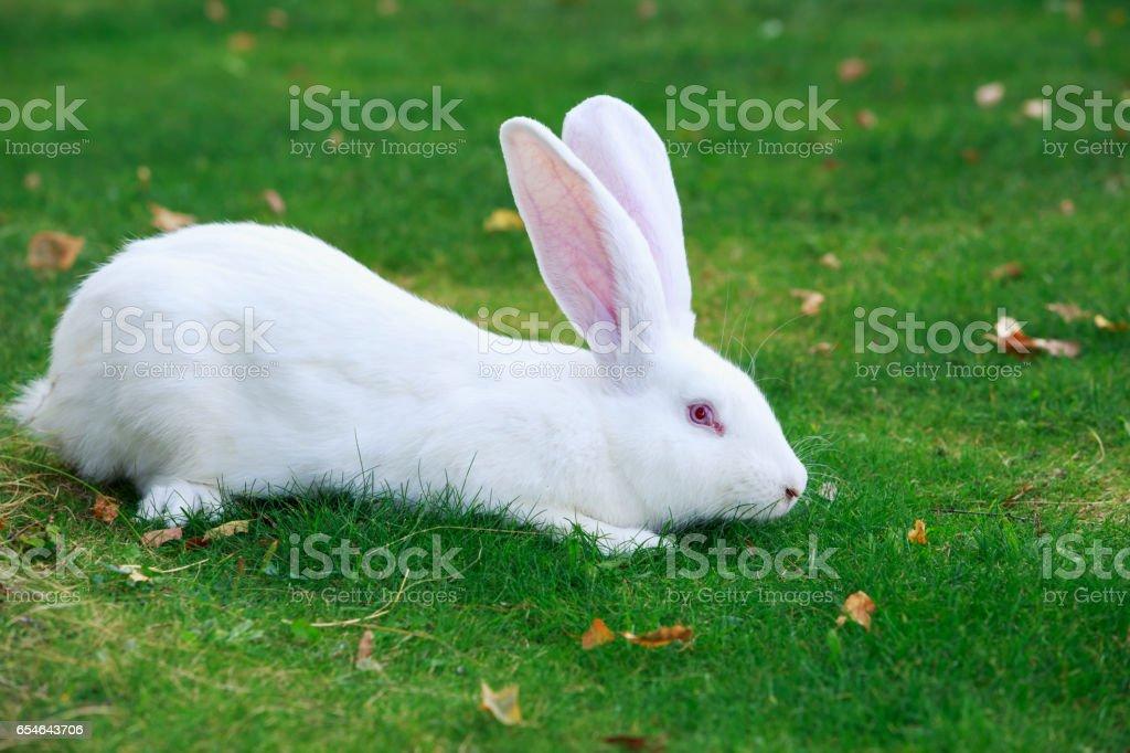 the white rabbit stock photo