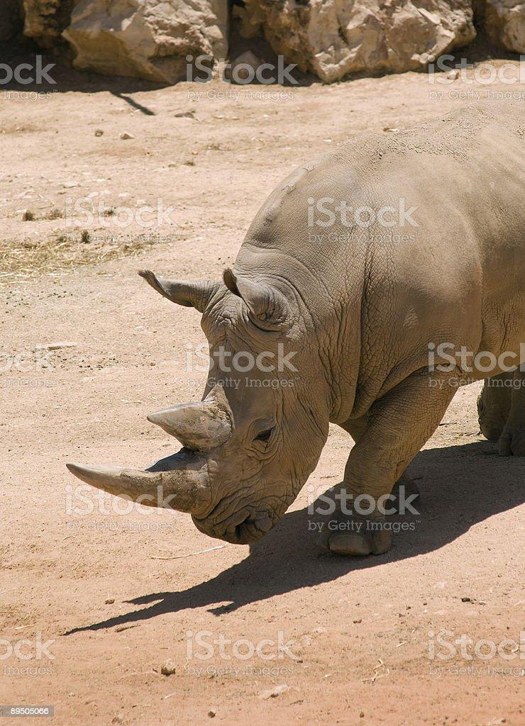 The White rhinoceros in Jerusalem Zoo royalty-free stock photo