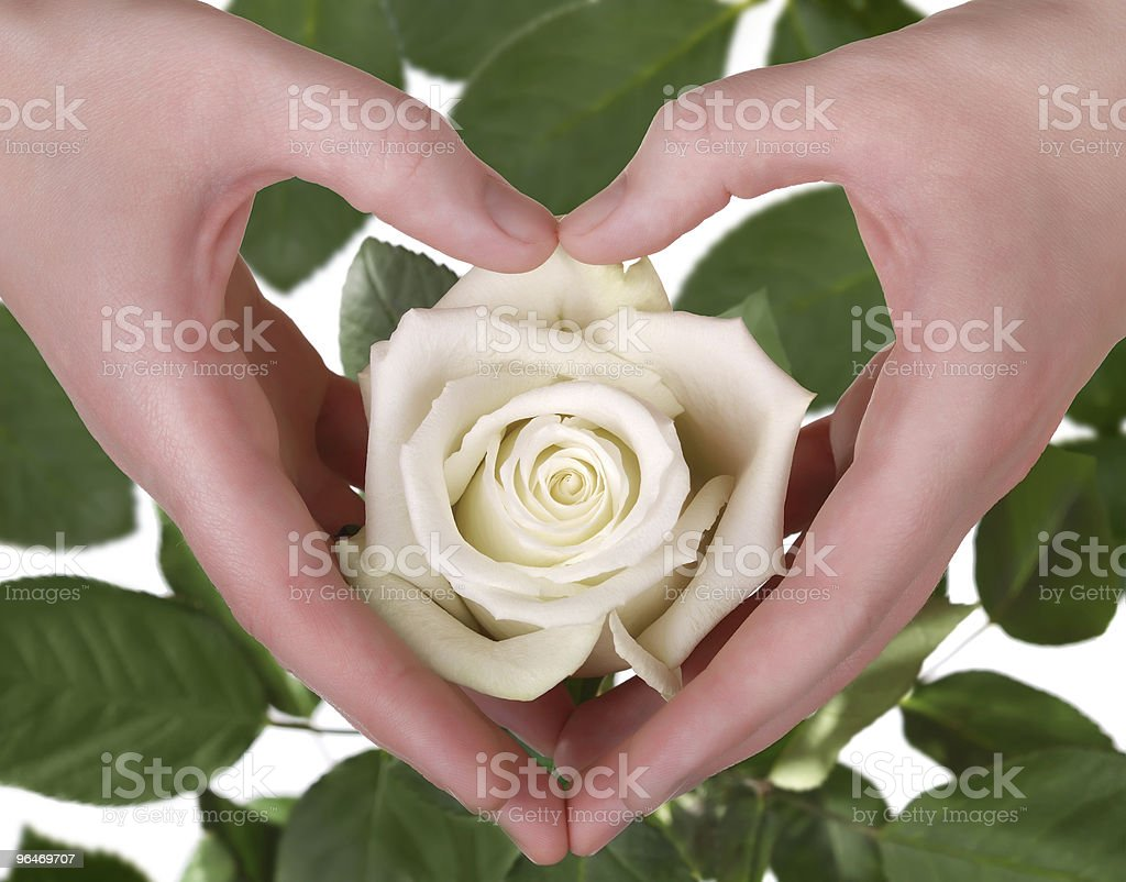 The white rose in woman hand royalty-free stock photo