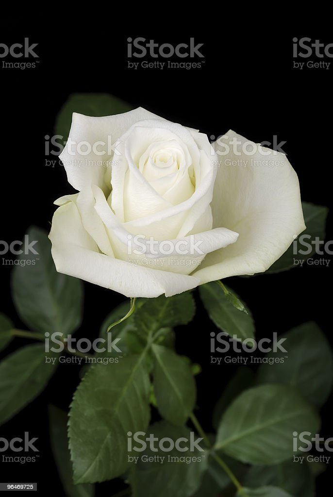 The white rose on black royalty-free stock photo