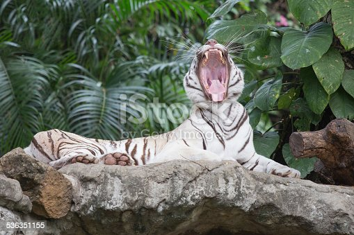 istock the white tiger growls. big canines. doff 536351155