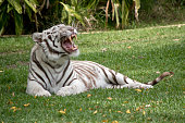 the white tiger is letting out a roar