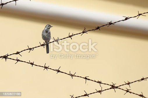istock The white wagtail (Motacilla alba) is a small passerine bird in the family Motacillidae. 1320822193