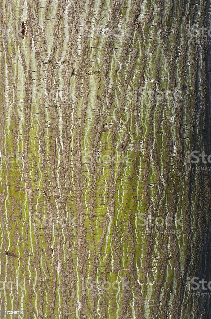 Bark of red snake-bark maple Acer capillipes royalty-free stock photo