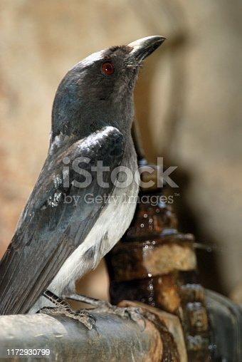 The white-bellied drongo (Dicrurus caerulescens) is a species of drongo found only on the Indian Subcontinent in India, Nepal, Bangladesh and Sri Lanka