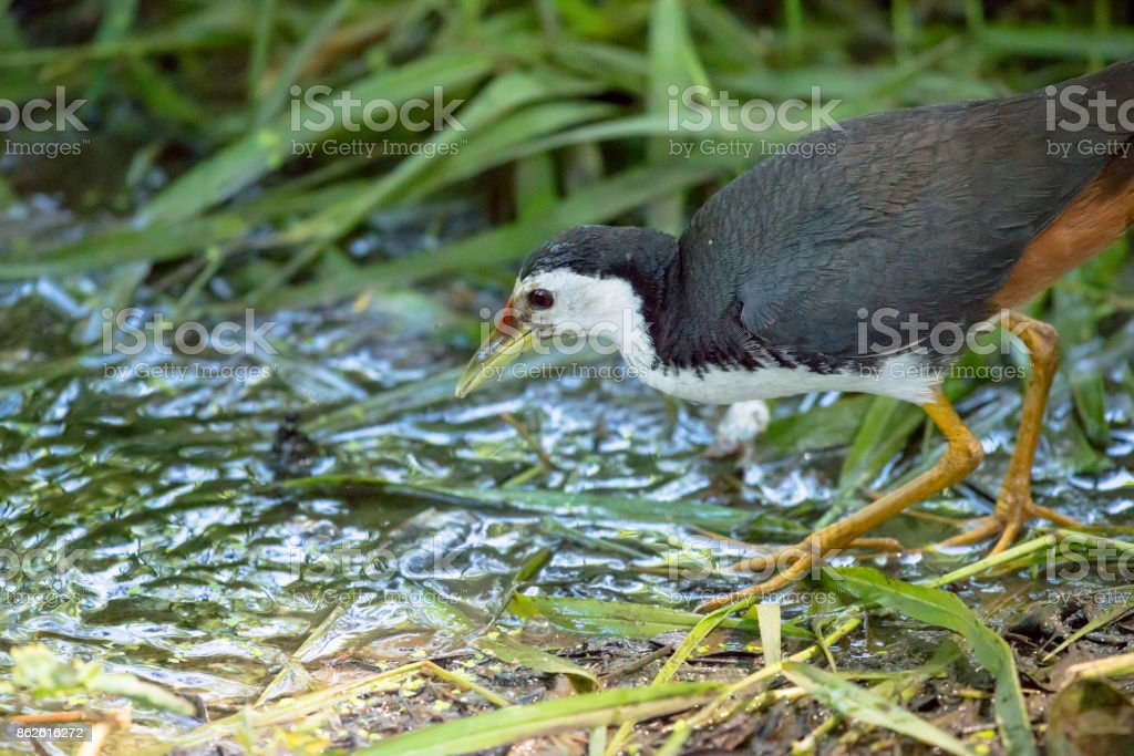 The white-breasted waterhen (Amaurornis phoenicurus) is a waterbird of the rail and crake family, Rallidae, that is widely distributed across Southeast Asia and the Indian Subcontinent. stock photo