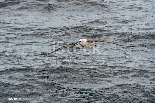 The White-capped Albatross, Thalassarche steadi, Thalassarche cauta steadi,  is a mollymawk that breeds on the islands off of New Zealand. Mollymawks are a type of Albatross that belong to Diomedeidae family and come from the Procellariiformes order, along with Shearwaters, Fulmars, Storm-petrels, and Diving-petrels.