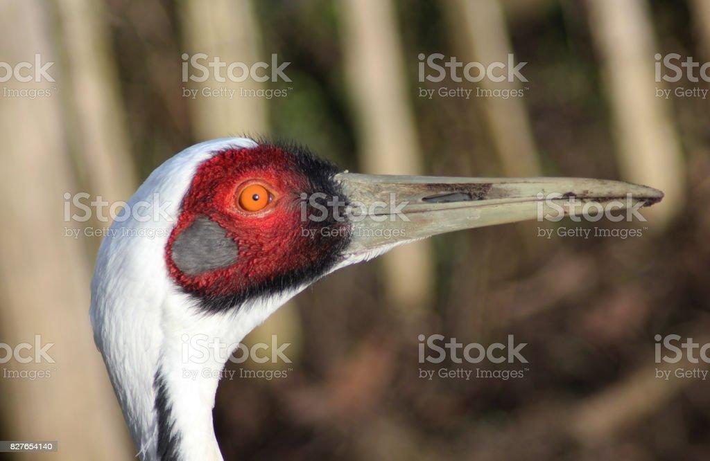 The white-naped crane (Antigone vipio) stock photo