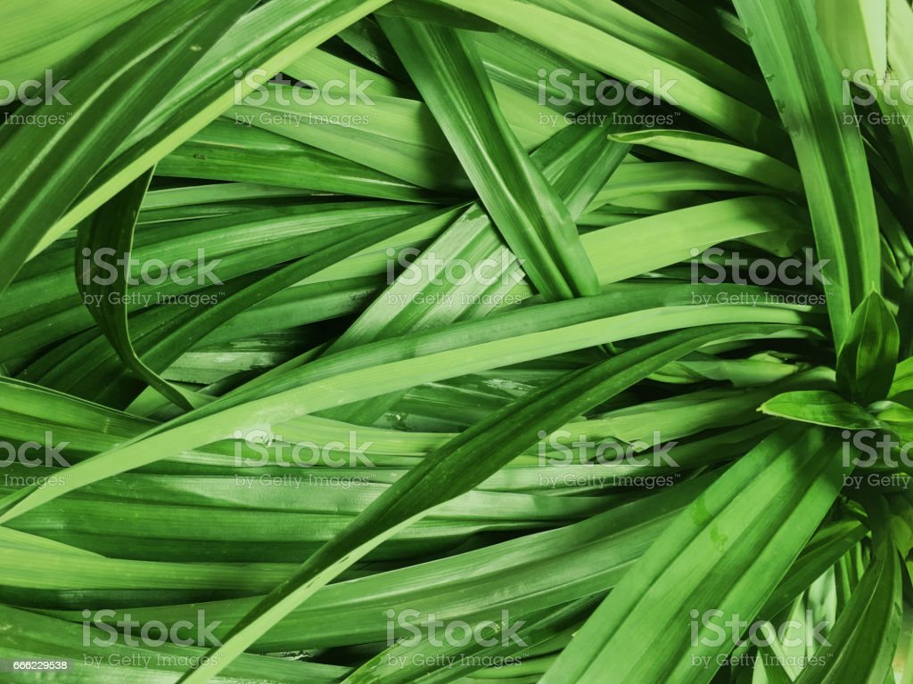 The wholesale Screwpine or pandan leaf  Wallpaper Background stock photo