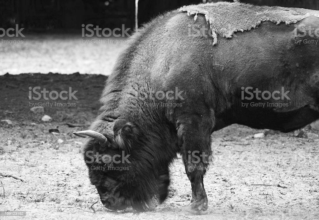 The wild cattle royalty-free stock photo