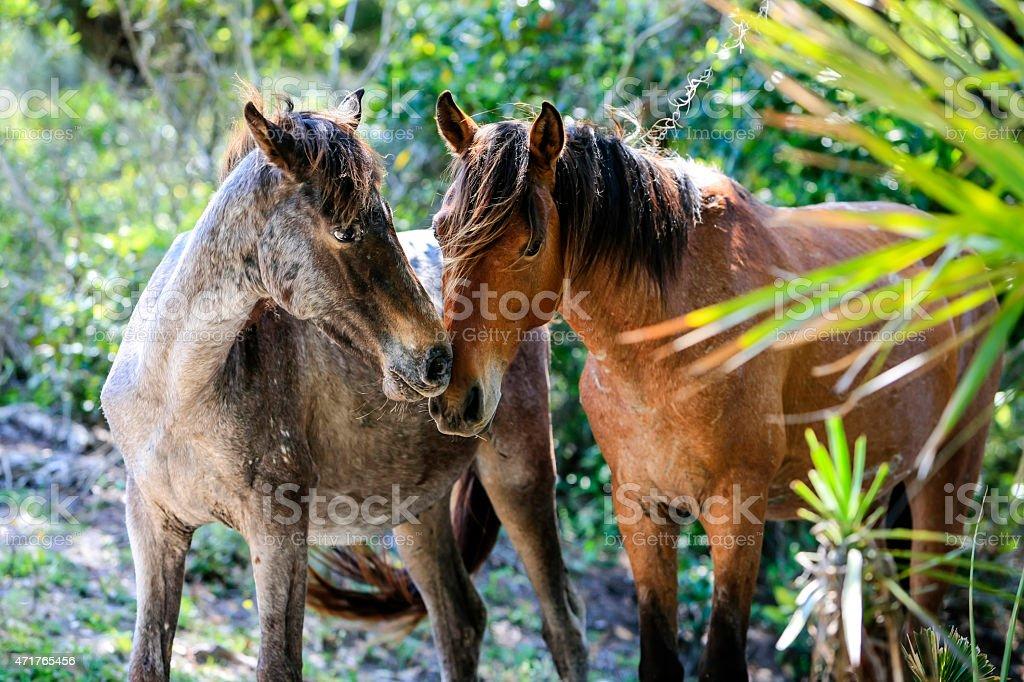 The wild horses of Cumberland Island GA stock photo