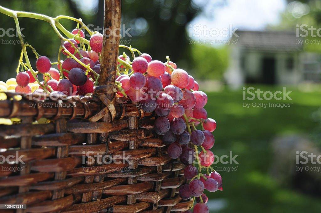 The Wine Harvest stock photo