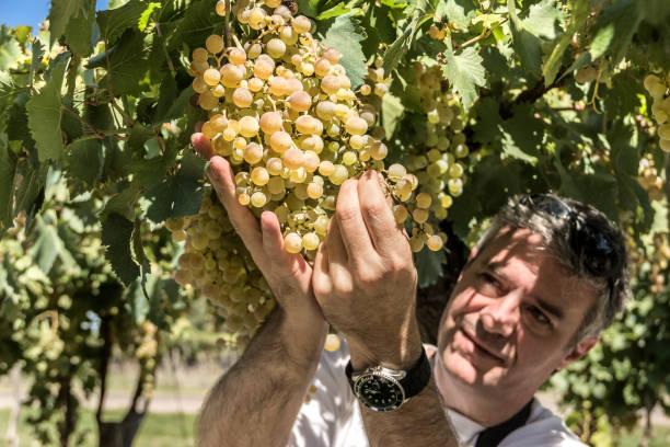 The winemaker controls the bunches of Chardonnay grapes. Tupungato, Mendoza, Argentina. stock photo