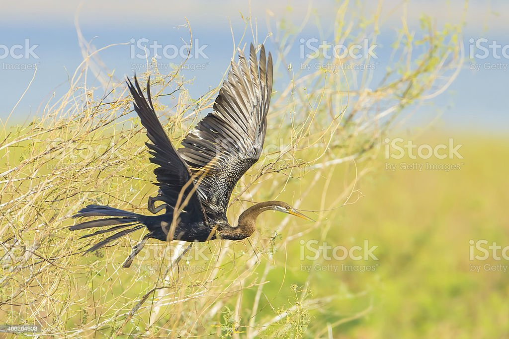 The wings of Oriental darter stock photo