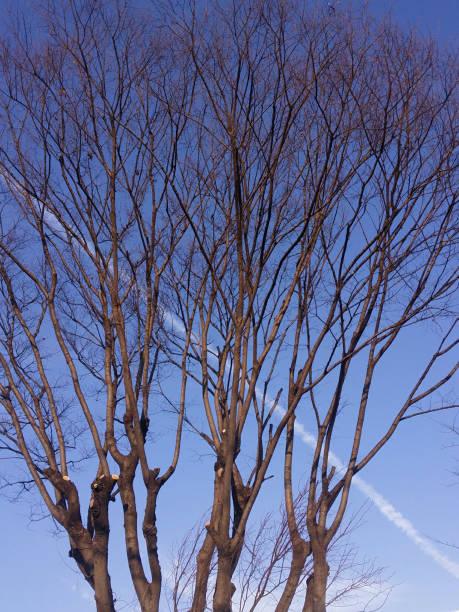 冬の木と飛行機雲。 ストックフォト