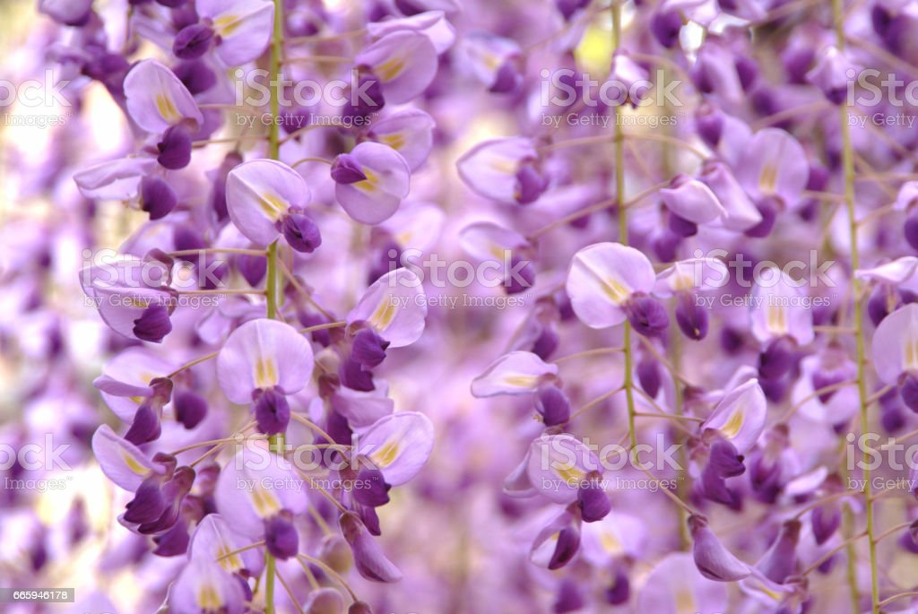 The wisteria flowers stock photo