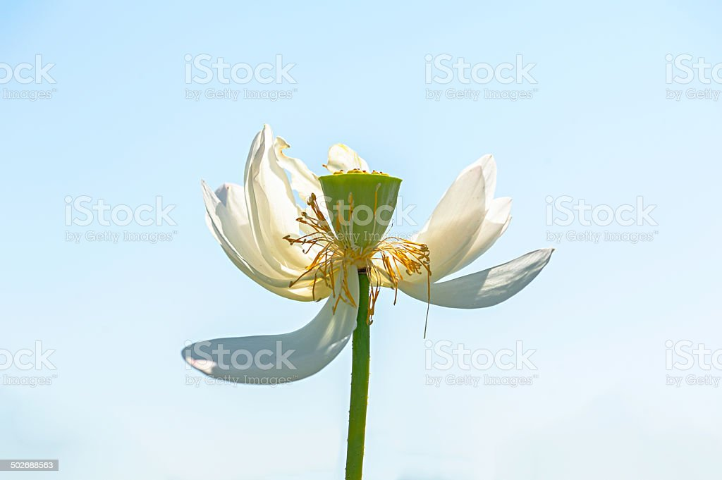 The withered lotus stock photo
