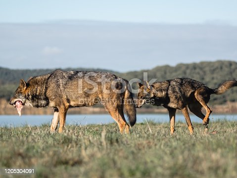 The wolf Canis lupus is a member of the mammalian order known as Carni in Cádiz, AL, Spain
