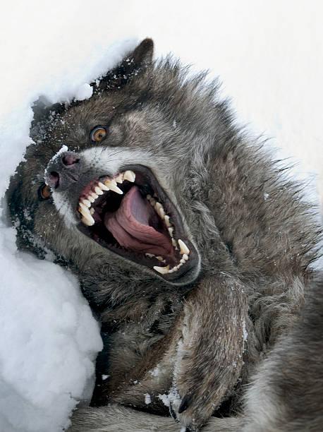 der wolf ist ein wildes tier - knurren stock-fotos und bilder