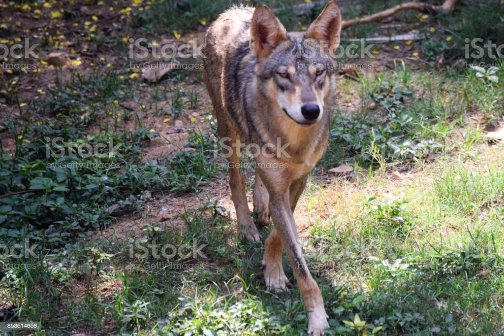 the wolf stock photo