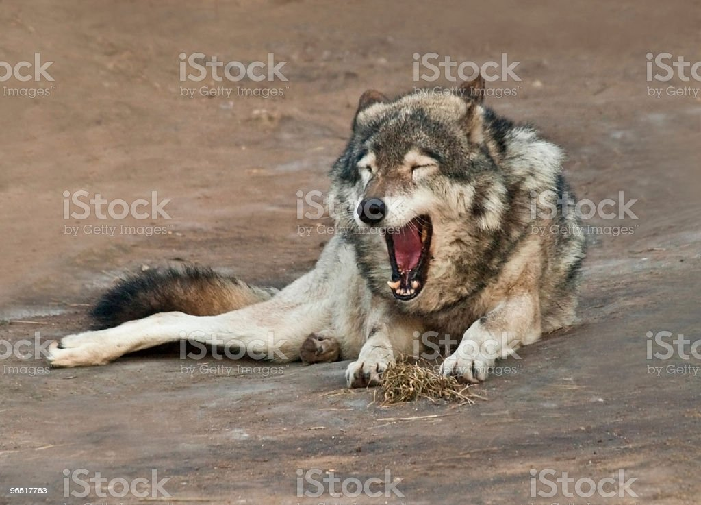 the wolf royalty-free stock photo