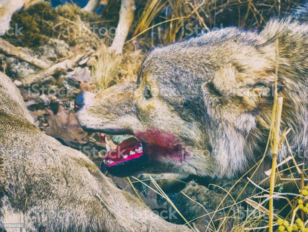 The Wolf While Hunting stock photo
