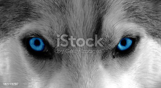 Close-Up shot of a husky / sleddog. Colors changed to b/w and enhanced blue for the eyes