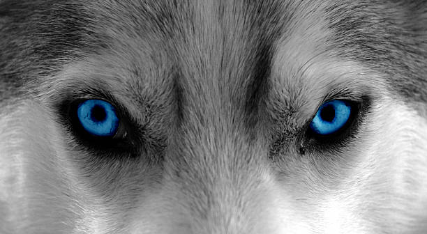 The Wolf Within Close-Up shot of a husky / sleddog. Colors changed to b/w and enhanced blue for the eyes animal eye stock pictures, royalty-free photos & images