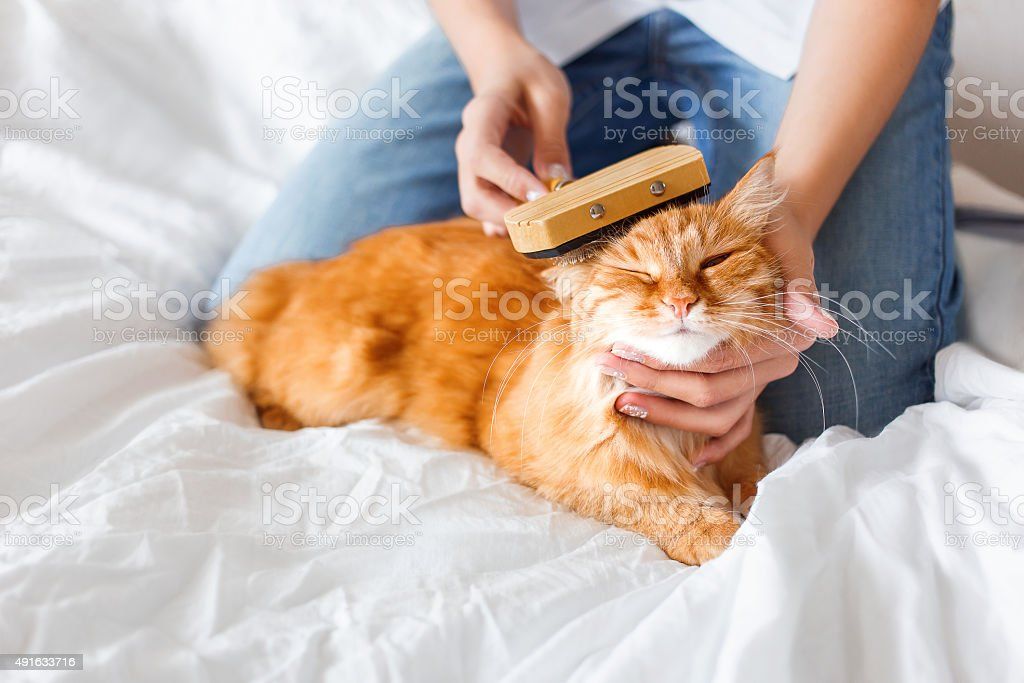 The woman combs a dozing ginger cat's fur. stock photo