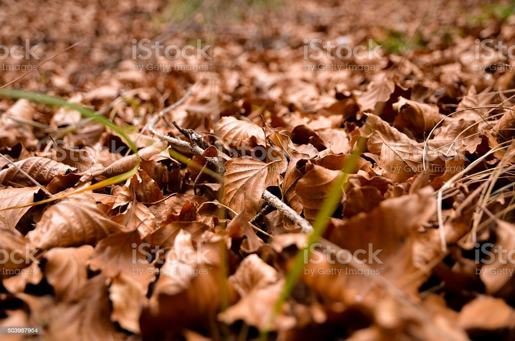 the woods ground cover full of dry autumn leaves stock photo