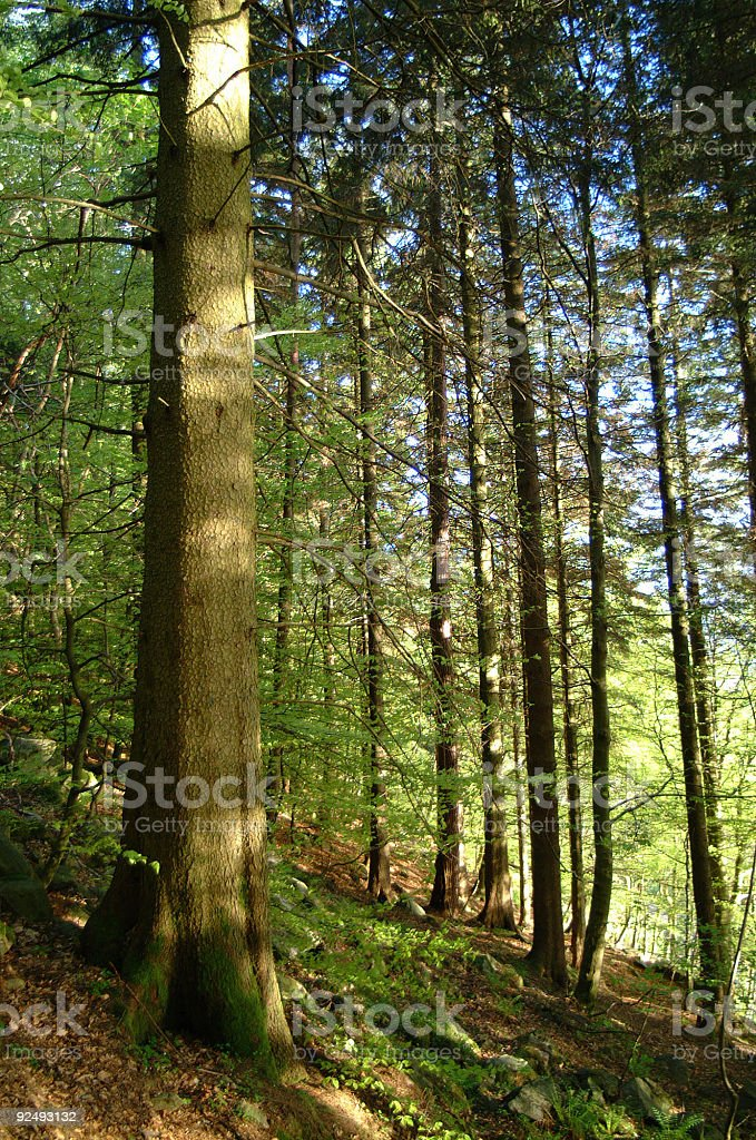 The woods royalty-free stock photo