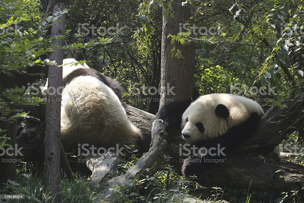 The woods two pandas royalty-free stock photo