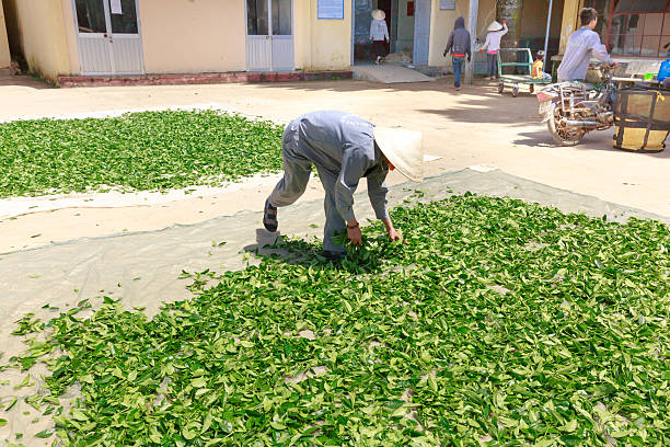 The worker of the factory tea are exposed to dry tea stock photo