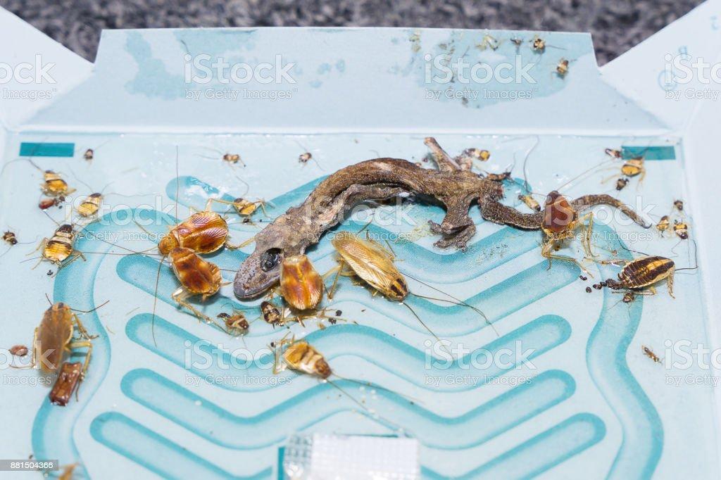 Das Wrack der Eidechse und Kakerlake auf Leim fallen stecken. – Foto