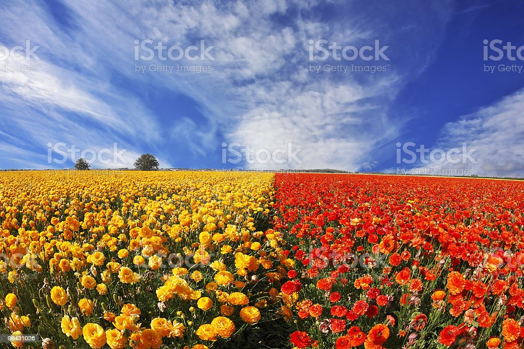 The yellow and orange buttercups on a sunset royalty-free stock photo
