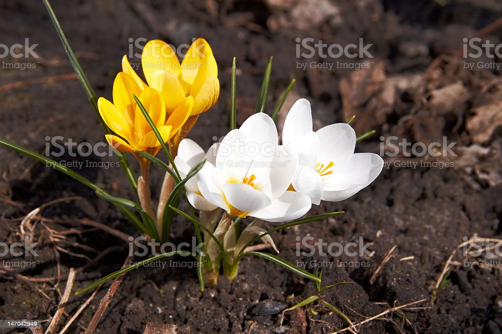 The yellow and white crocus royalty-free stock photo