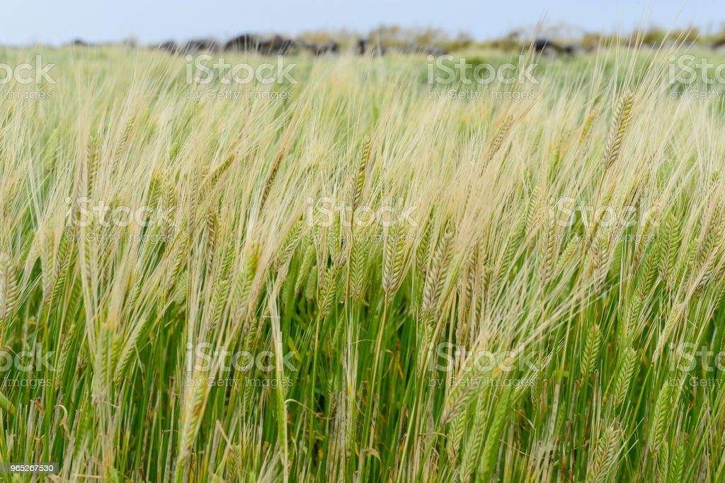 The yellow barley field tremble in the breeze. zbiór zdjęć royalty-free