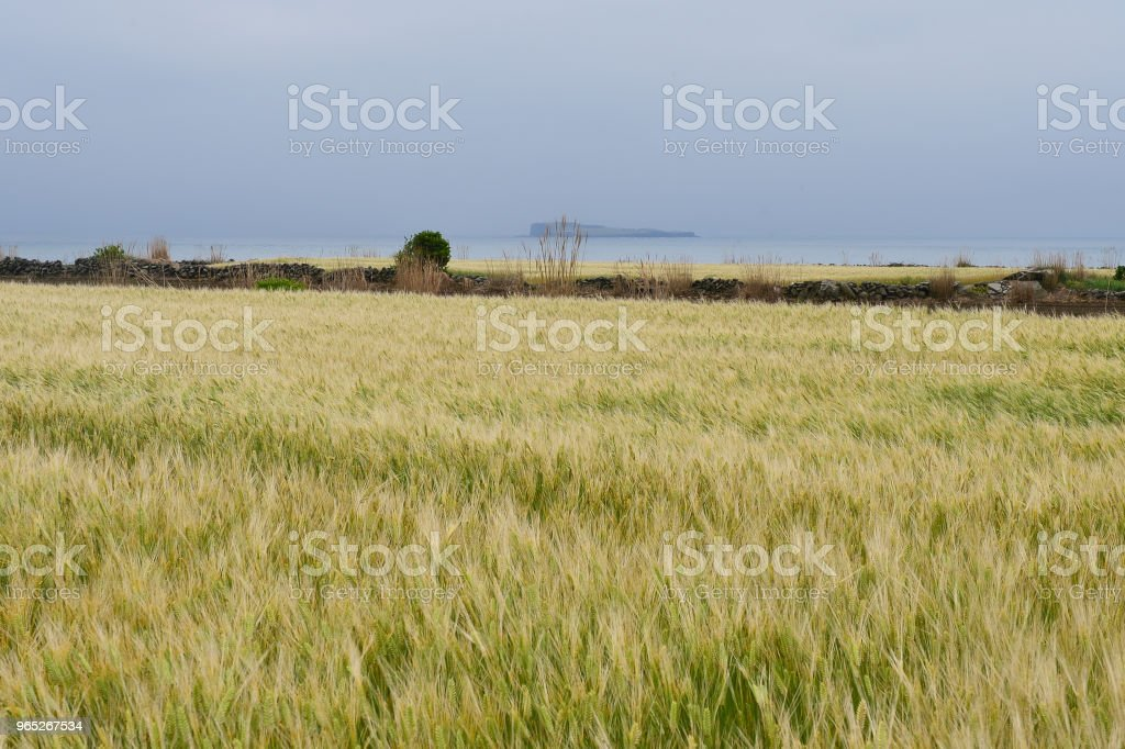 The yellow barley field tremble in the breeze. royalty-free stock photo